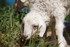 Cute Lamb. Close-up of a cute lamb royalty free stock photos