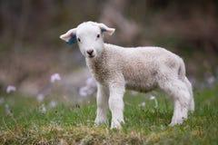 Cute lamb. A cute lamb enjoying the day Stock Photo