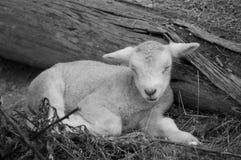 Cute lamb on farm Stock Photos