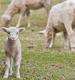 Cute lamb on farm Stock Photography