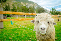 Cute lamb in a farm. Looking at camera stock images
