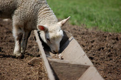 Cute lamb feeding from a trough Royalty Free Stock Photo