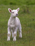 Cute lamb on field Stock Images