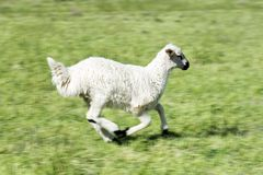 Cute lamb on field in spring. Lambs leaping for joy in the spring sunshine in the Turkey stock images