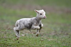 Cute lamb on field in spring Royalty Free Stock Images