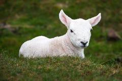 Cute small lamb on grass. Close up detail cute small lamb on grass in countryland royalty free stock photo