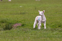 Cute lamb in green field. Portrait of cute lamb in green countryside field Royalty Free Stock Photography