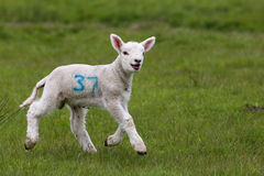 Cute lamb in green field. Side view of cute lamb in green countryside field Royalty Free Stock Image