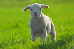 Cute lamb on green grass Stock Photography