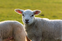 Cute lamb halo Stock Images