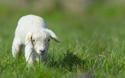 Cute Lamb In Spring Stock Images
