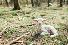 Cute lamb lying on grass in the forrest on bio farm royalty free stock image