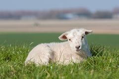 Cute lamb lying in grass, The Netherlands Stock Photo