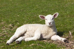 Cute lamb lying on meadow Royalty Free Stock Photo