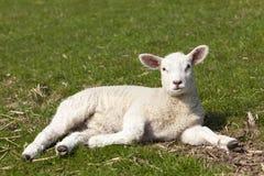 Cute lamb lying on meadow Royalty Free Stock Photo