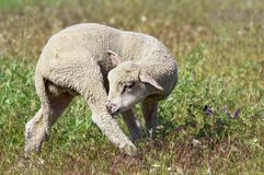 Cute lamb on the meadow Royalty Free Stock Photo