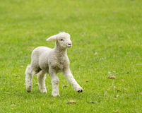 Cute lamb in meadow in New Zealand stock photos