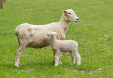 Cute lamb and mother sheep in meadow Royalty Free Stock Photo