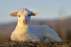 Cute Lamb portrait Royalty Free Stock Photos