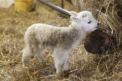 Cute Lamb Portrait. Newborn standing up and eating straw Stock Images