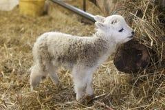 Cute Lamb Portrait Stock Images