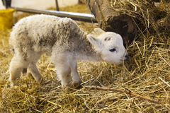 Cute Lamb Portrait. Very cute lamb standing up and eating straw Stock Photography