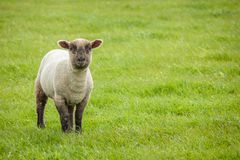 Cute Lamb, Seaford Head, East Sussex, UK stock photo
