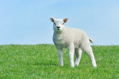 Cute lamb in spring Royalty Free Stock Photos