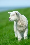 Cute lamb in spring Royalty Free Stock Image
