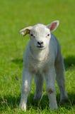 Cute lamb in spring Stock Photos