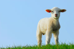 Cute lamb in spring Royalty Free Stock Photography