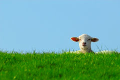 Cute lamb in spring Stock Photo