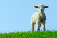 Cute lamb in spring Royalty Free Stock Images