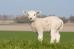 Cute lamb in spring, The Netherlands Royalty Free Stock Images