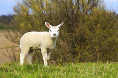 A cute lamb standing on a hill Royalty Free Stock Photos