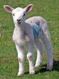 Cute Lamb Royalty Free Stock Image