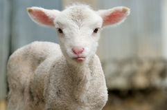 Cute lamb tongue out Royalty Free Stock Photos