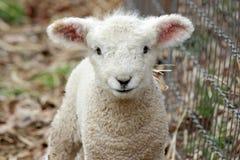 Cute Lamb Stock Photography