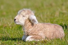 Cute lambs Royalty Free Stock Photo