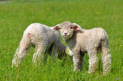 Cute lambs Royalty Free Stock Photography