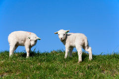 Cute lambs Royalty Free Stock Image