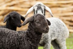 Cute lambs Stock Photography