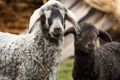 Cute lambs Royalty Free Stock Photos