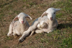 Cute lambs Stock Photo