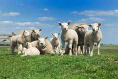 Cute lambs Royalty Free Stock Photos