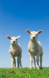 Cute lambs stock image