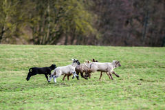 Cute lambs with adult sheeps in the winter field Royalty Free Stock Photo