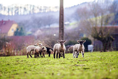 Cute lambs with adult sheeps in the winter field Royalty Free Stock Images