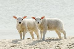 Cute lambs on the beach in spring Stock Photography