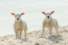 Cute lambs on the beach in spring royalty free stock image